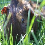 Annabel's guinea pig