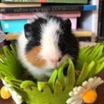 Guinea Pig (Epps)